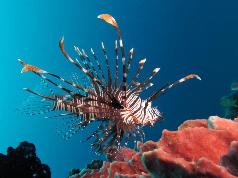 산호초 주변에서 찍힌 점쏠배감펭 옆모습 사진