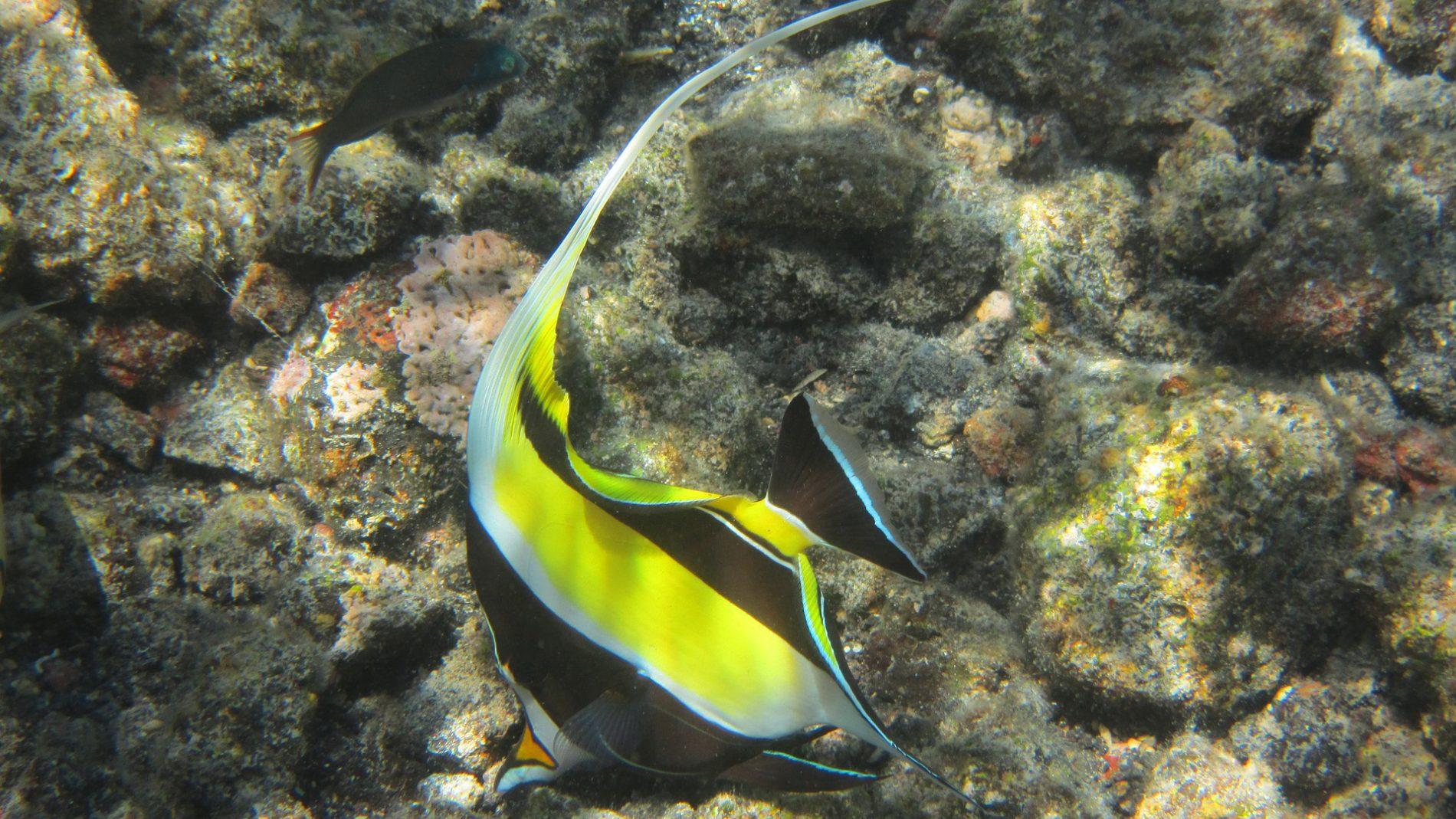 노란색에 검정색 흰색 패턴이 있고 윗지느러미가 얇고 길다