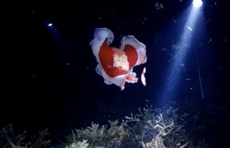 붉은 색목에 흰색 테두리로 춤추는듯한 연체동물을 후레시로 비추고 있다