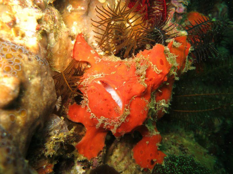 주황색에 가까운 산호처럼 보이는 앵글러 프로그피쉬