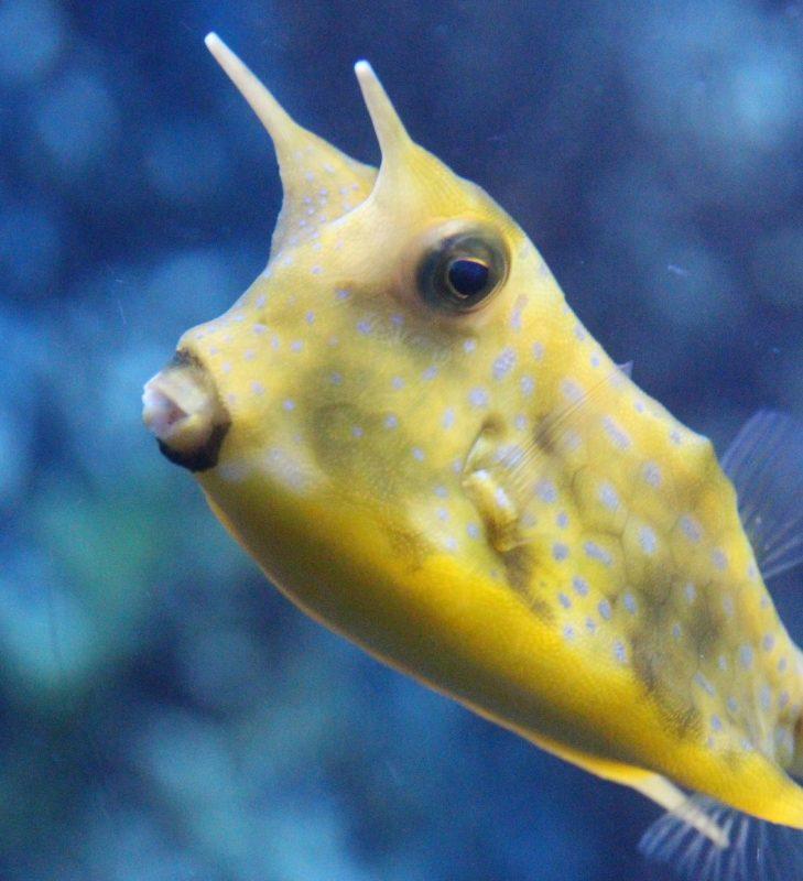 머리위에 2개의 뿔처럼 달린 노란색 물고기