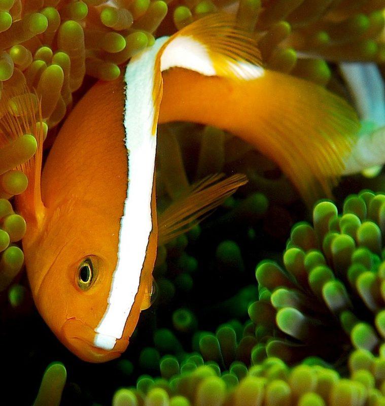 말미잘속의 오렌지 스컹크 크라운피쉬